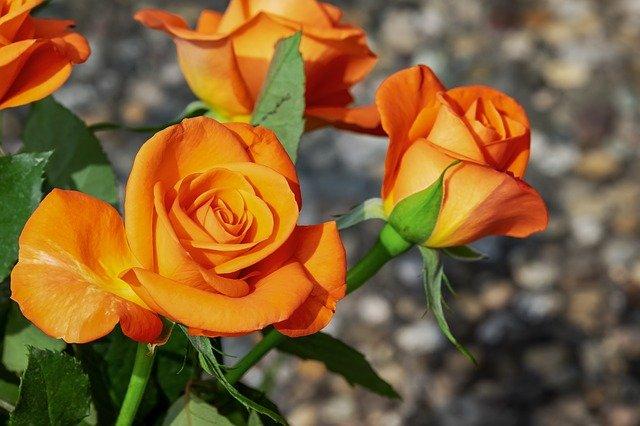 oranžové květy růže
