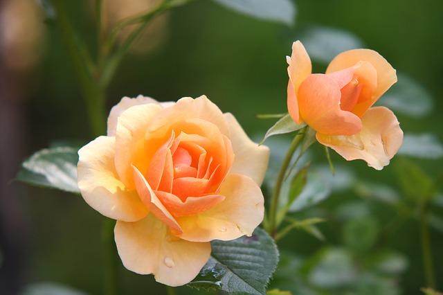 dva květy